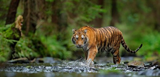 tiger wildlife animal