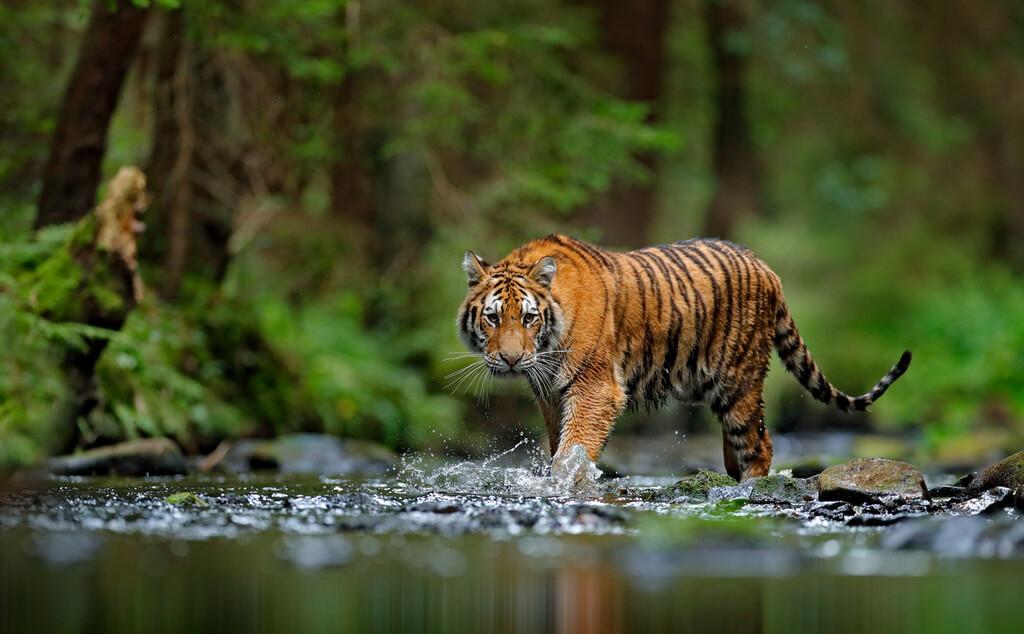 tiger wildlife animal