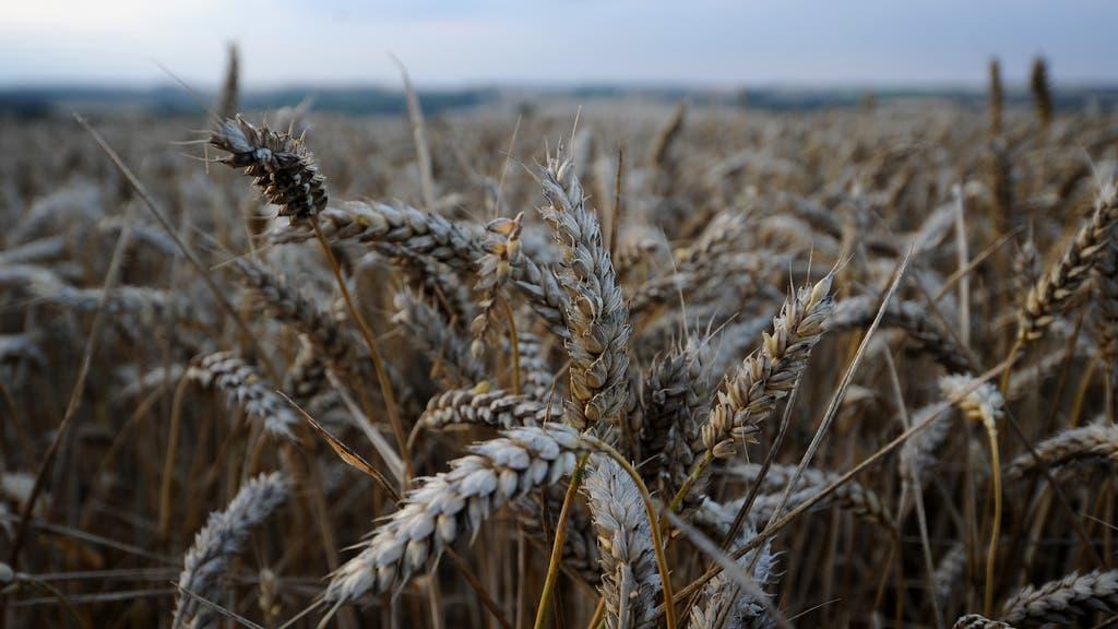 farming wheat